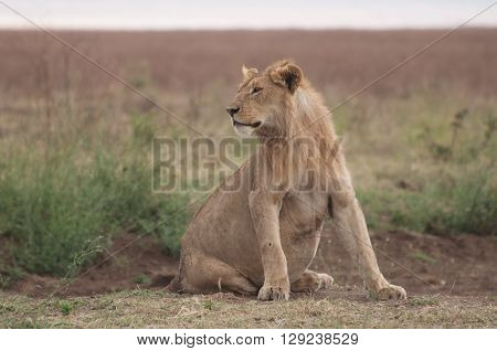 Pregnant Lioness In The Serengetti.