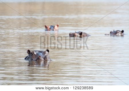 Hippopotamus In Lake