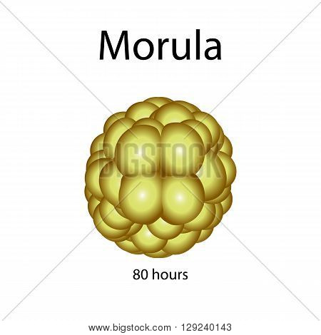 Human morula. Vector illustration on isolated background.