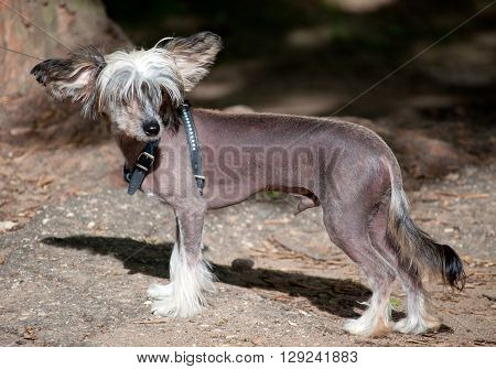 Chinese crested dog walking in the street
