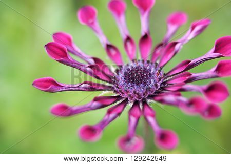 Purple Osteospermum daisy flower, also known as a Spider Daisy.