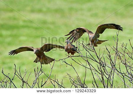 Black kites (Milvus migrans) landing and resting in a tree in their habitat
