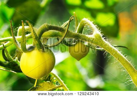 Green growing tomato vegetables over blurry background