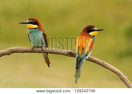 Pair of bee-eaters perched on a branch looking at opposite sides