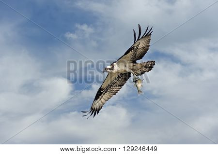 Osprey flying in the clouds over the Chesapeake Bay with a fish