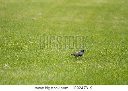 Biird On The Grass