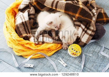White newborn kittens in a plaid blanket. Sweet adorable tiny kittens on a serenity blue wood background play with cat toy and ribbon. Small cats top view. Funny kittens crawling and meowing