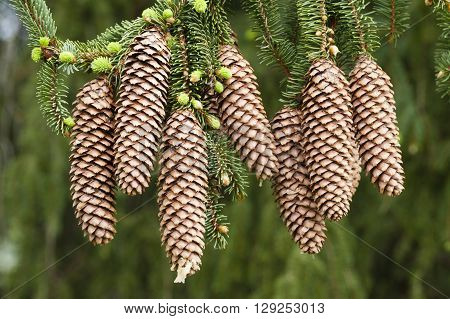 Norway spruce tree with green buds and cones Picea abies