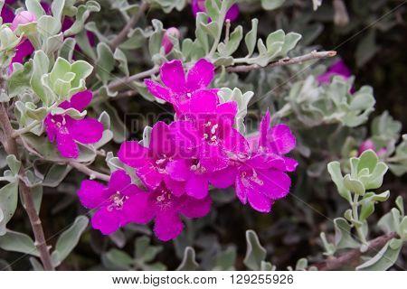 Barometer Bush Leucophyllum frutescens Flower in garden