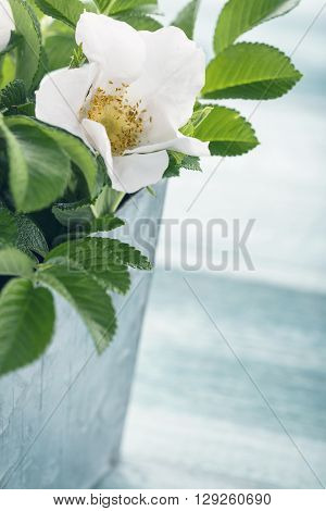 White rose bouquet in metal vase on light blue wooden vintage background
