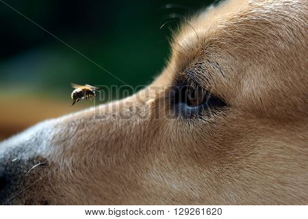 Bumblebee flies. Big dog muzzle. Dog watching insects