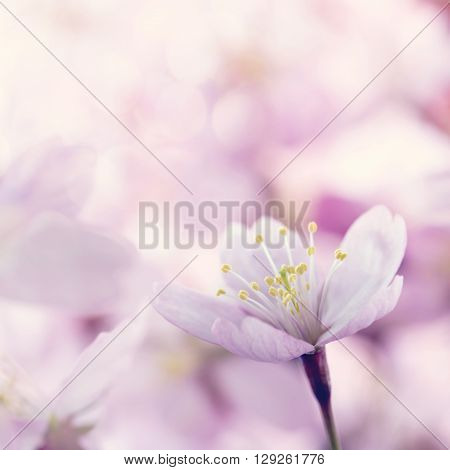 Closeup of small pink cherry tree flowers