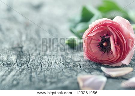 Single red ranunculus flower on vintage wooden background