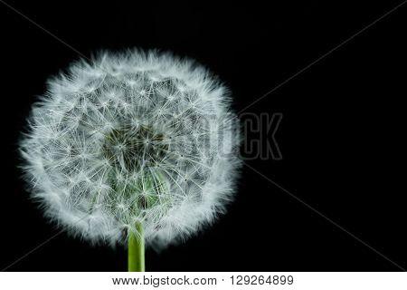 Dandelion flower isolated on black background. macro
