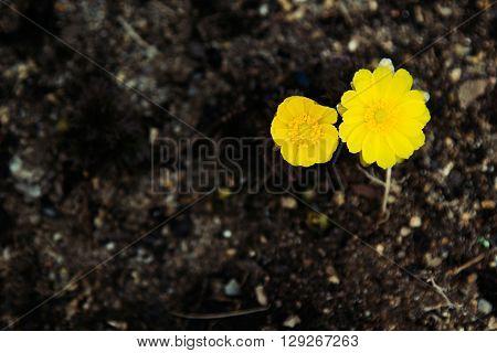 First spring flowers on dark ground. Two Adonis flower. Spring background.