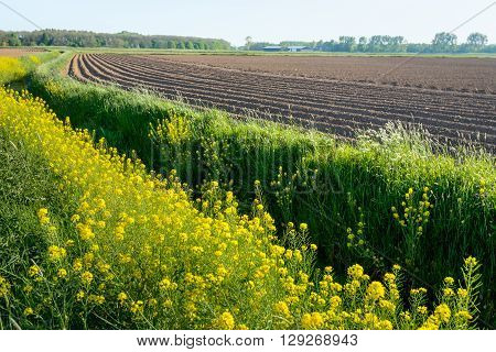 Curved ridges of clay after seeding potatoes in the farmland. In the foreground the rapeseed is yellow flowering. It is a sunny day in the early spring season.