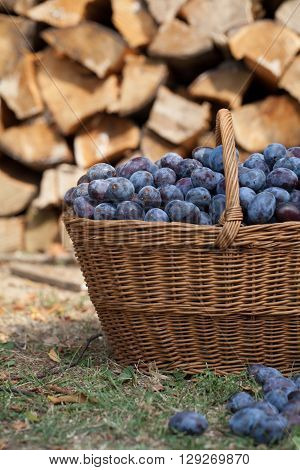 Fresh organic plums in a wicker basket