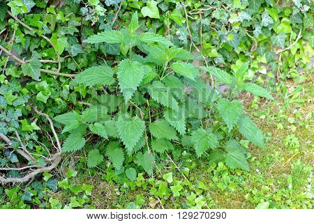 Green leaves of stinging nettles (Urtica dioica)behind her overgrown stone fence