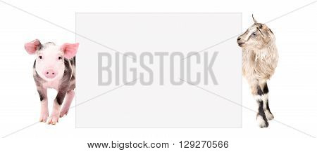 Pig and goat peeking from behind a banner, isolated on white background
