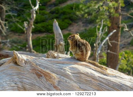 A  chipmunk sitting on a wooden log