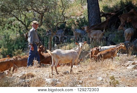 TORROX, SPAIN - JULY 1, 2008 - Shepherd with goats on the mountainside during the Springtime between Torrox and Competa Malaga Province Andalucia Spain Western Europe, July 1, 2008.