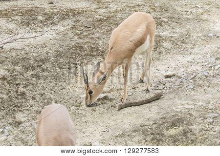 Gazella dorcas neglecta Dorcas gazelle, looking for meal