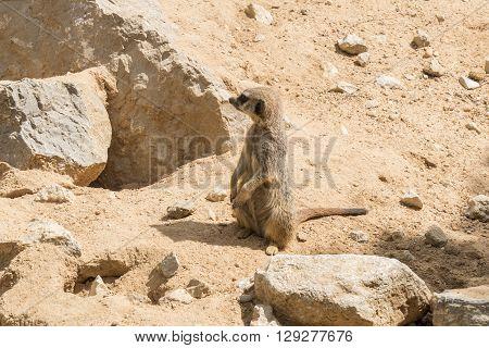Suricata suricatta Meerkat, remaining attentive to something