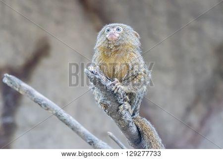 Callithrix pygmaea Pygmy marmoset, over a branch
