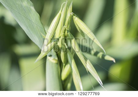 Unripe Oat harvest green field, under the sun