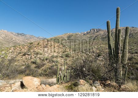 Saguaro cacti on the landscape of Tucson's Catalina State Park