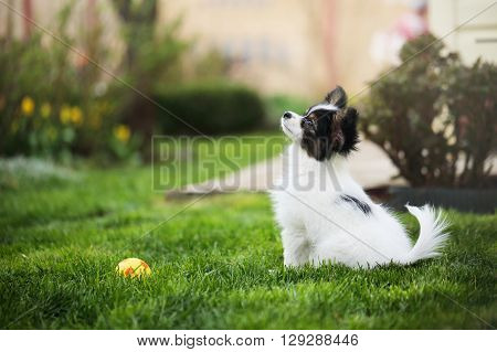 Puppy breeds Papillon on the green grass