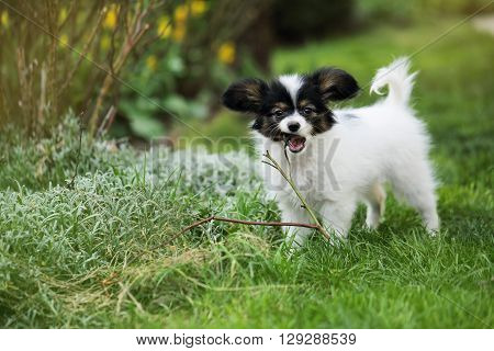 Puppy breeds Papillon on the green grass, Puppy chewing on branches