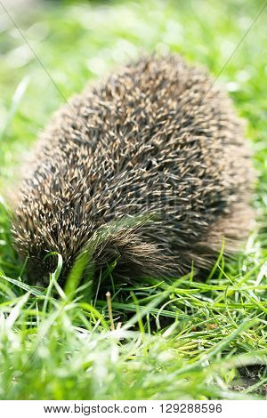 Young prickly hedgehog in their natural habitat, on the grass