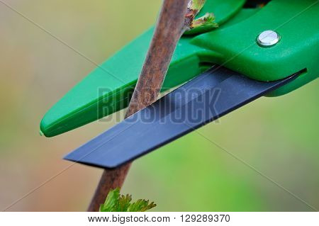 Working With Cutting Bush Clippers In Spring, Close-up