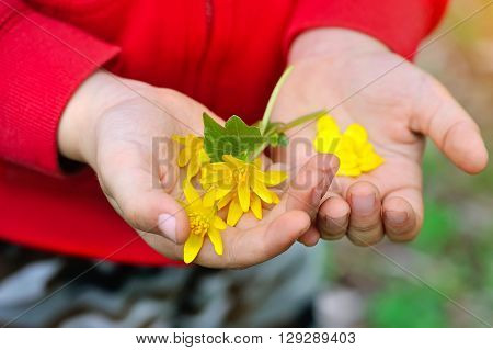 Spring yellow flowers in children's hands in the garden