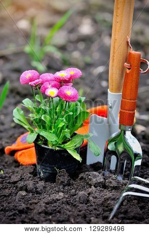 Beautiful marguerite flowers and garden tools in the garden