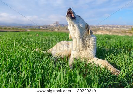 white dog on green lawn