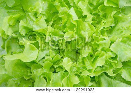 Close up Green oak leaf lettuce, vegetable