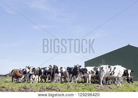 herd of cows in dutch field near stable in green meadow under blue sky in holland