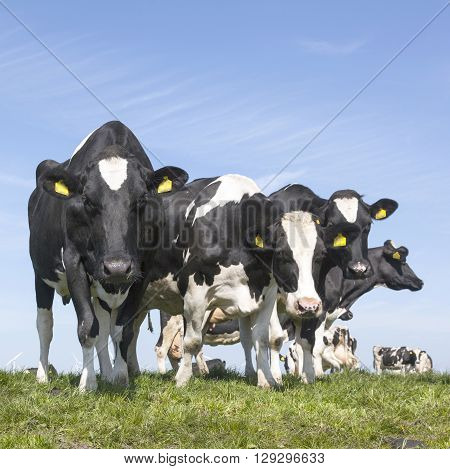 black and white cows stare in green grassy dutch spring meadow under blue sky in holland
