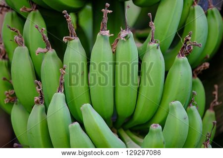 Bunch of ripening green bananas on tree. Selective focus.