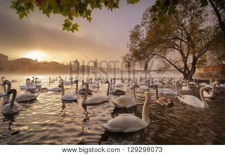 Morning Sunrise With Swans Near Charles Bridge, Prague, Czech Re