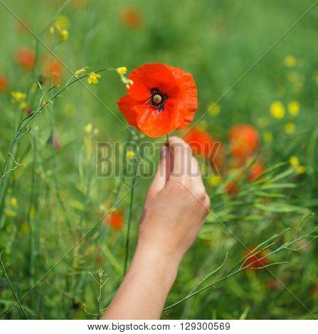 Beautiful poppy flower in girls hand in poppy field