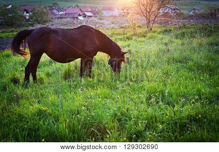 Horse grazing in sunset lights