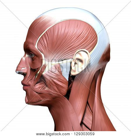 side view of anatomy 3D head model with face muscles