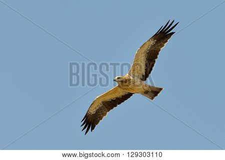 The Booted Eagle in flight (Aquila pennata)
