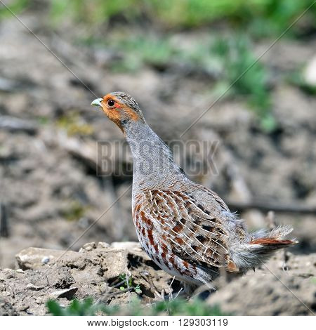 partridge on field in summer (perdix perdix)