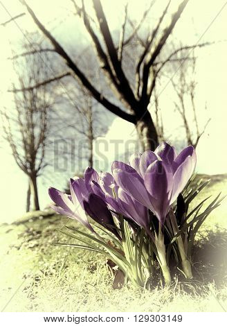 Closeup of pink crocus flowers with trees in background with effect
