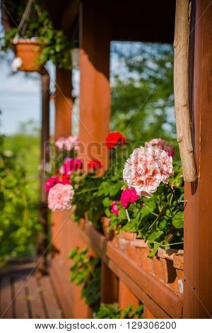 Beautiful pelargonium flowers in backyard, copy space