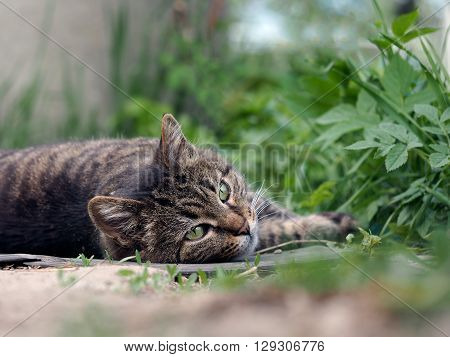 Big, happy cat lying on the ground, among the green grass. Luxury cat, striped, smooth-haired. Beautiful cat resting